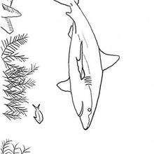 Hai zum Ausmalen
