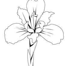 Iris zum Ausmalen