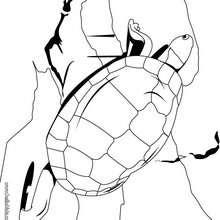 Große Schildkröte zum Ausmalen