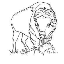 Bison zum Ausmalen