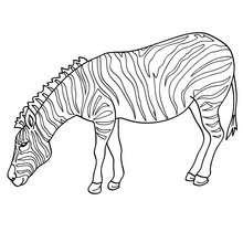 Zebra Bild zum Ausmalen