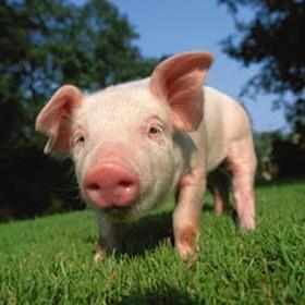 Schwein online puzzle