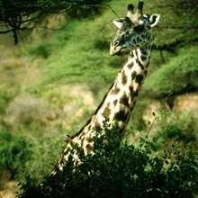 Wie die ersten Giraffen nach Europa kamen
