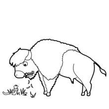 Bison Beweidung